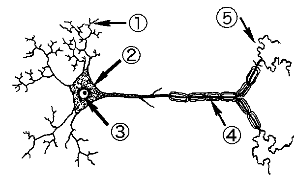 Nervous System Label The Neuron